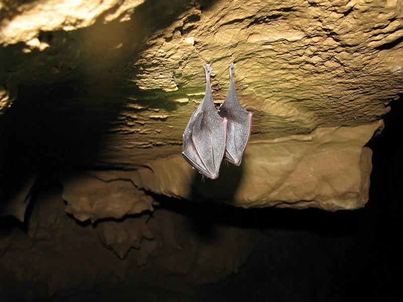 Hibernujúce netopiere - Podkovár malý - duša ženy